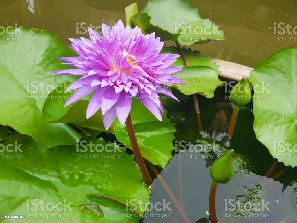 Lotus flowers in pond beautiful nuture background stock photo more lotus flowers in pond beautiful nuture background royalty free stock photo izmirmasajfo