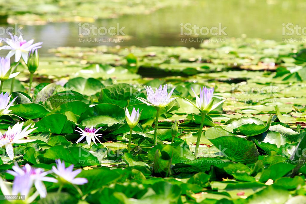 Lotus flowers in pond royalty-free stock photo