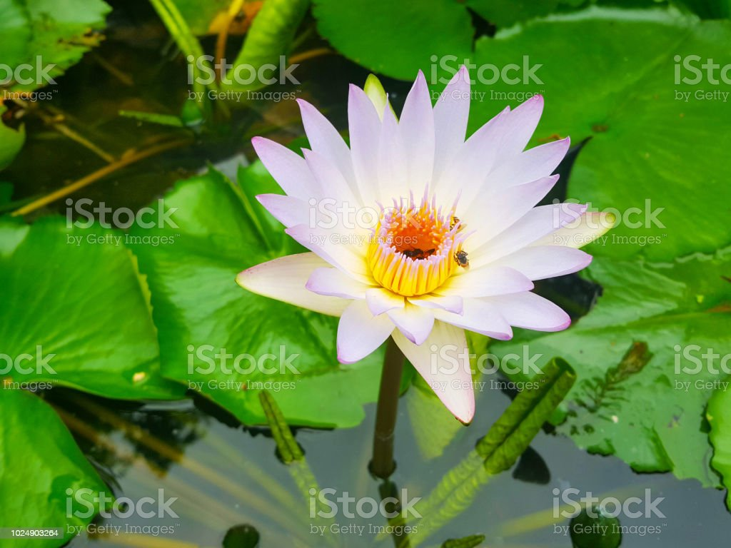 Lotus Flowers In Pond With Bee Beautiful Nuture Background Stock