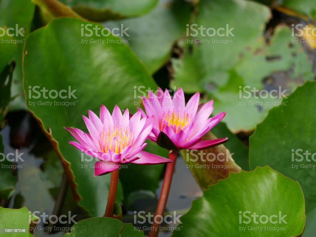 Lotus Flowers In The Pond Stock Photo More Pictures Of Abstract