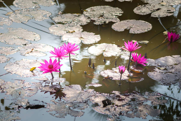 Lotus flowers in the ponds. Lotus flowers in the ponds.  This flower is used as a symbol in the teaching of Buddhism. bodhisattva stock pictures, royalty-free photos & images