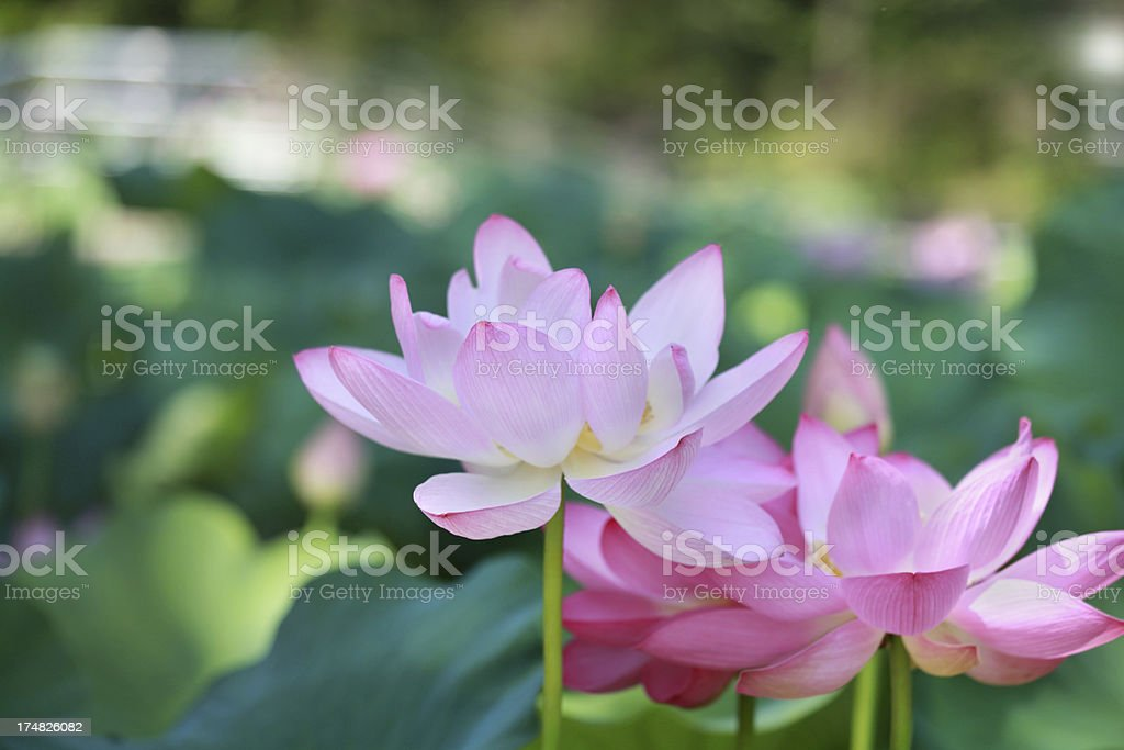 Lotus flowers royalty-free stock photo