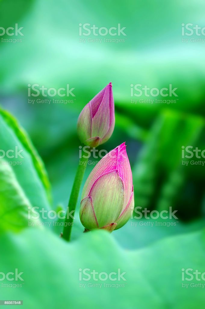 Lotus flowers royalty free stockfoto