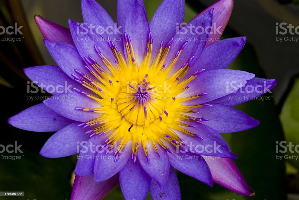 lotus for conceptual purpose royalty-free stock photo