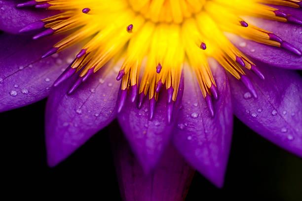 lotus para uso conceitual - foto de acervo