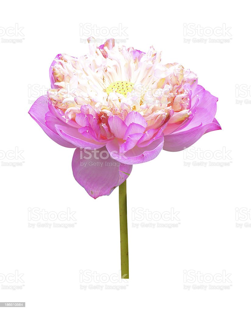 Lotus Frower royalty-free stock photo