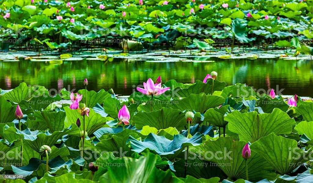Lotus Garden Reflection Summer Palace Beijing, China stock photo