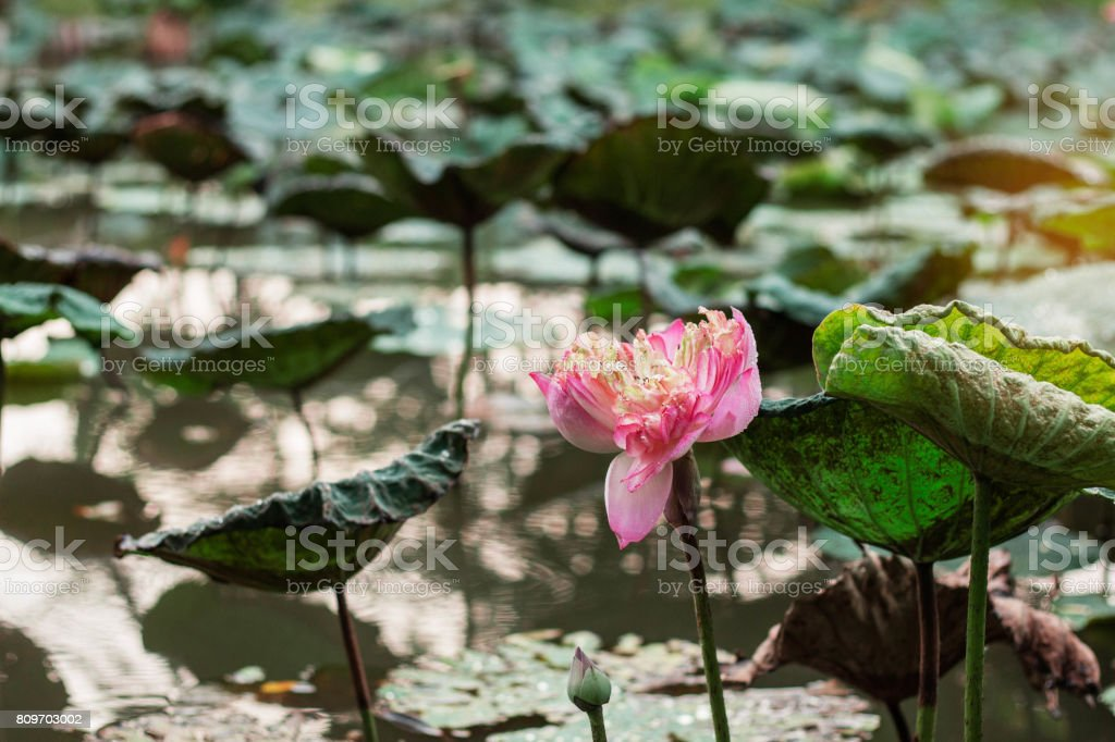 lotus in a pond. stock photo