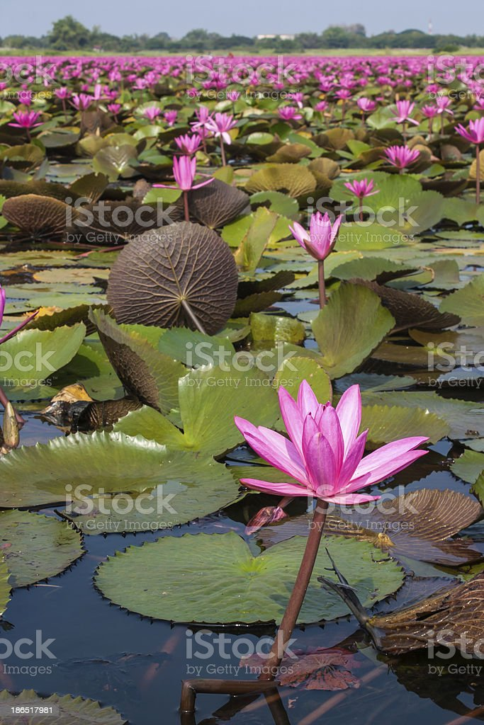 lotus in nature royalty-free stock photo