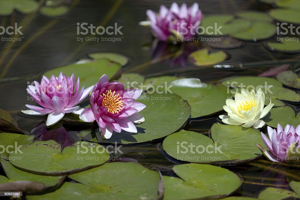 Lotus in pond royalty-free stock photo