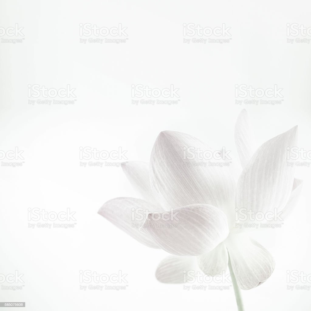 Lotus in soft color and blur style for background - Photo