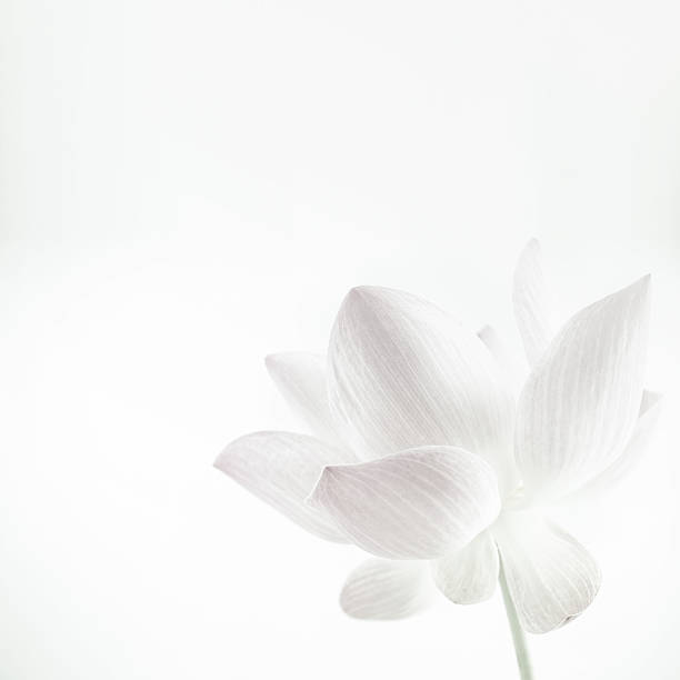 Lotus in soft color and blur style for background – Foto