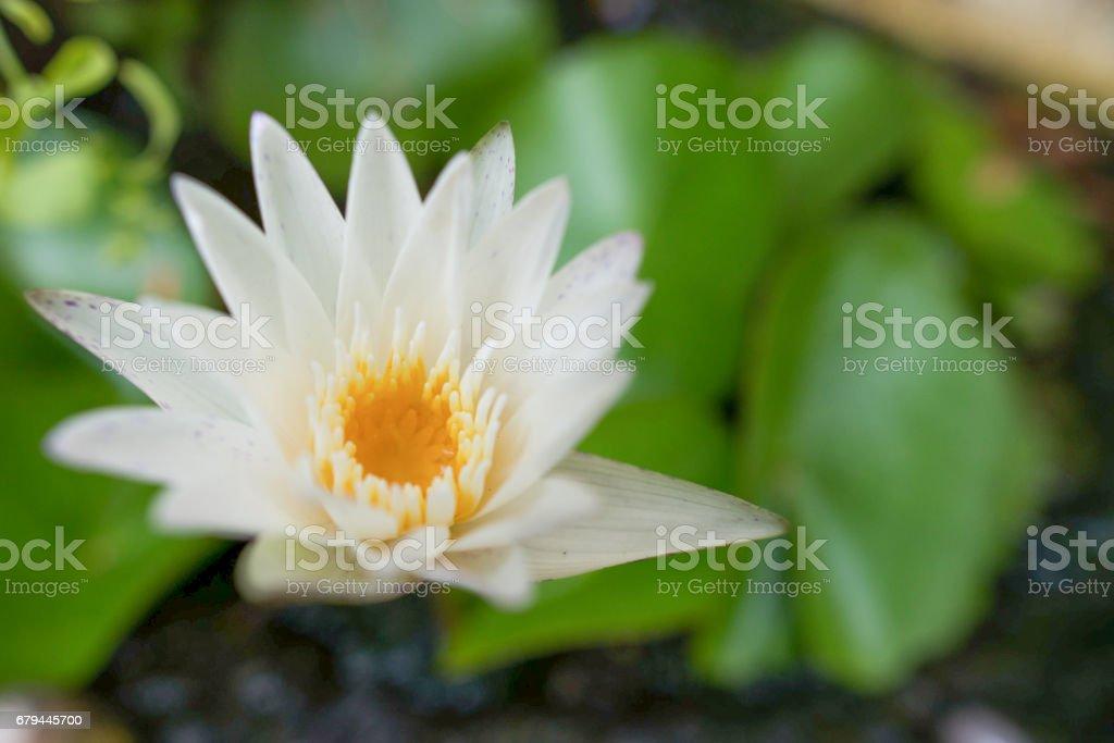 Lotus in swamp royalty-free stock photo