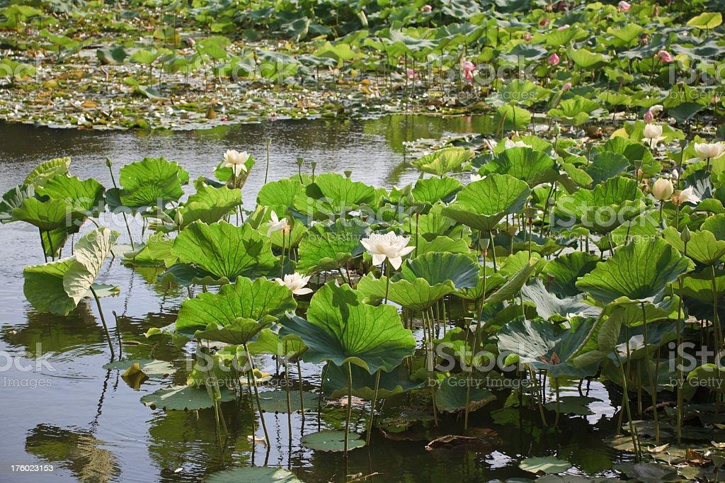 Lotus in the Green Lake, Kunming royalty-free stock photo