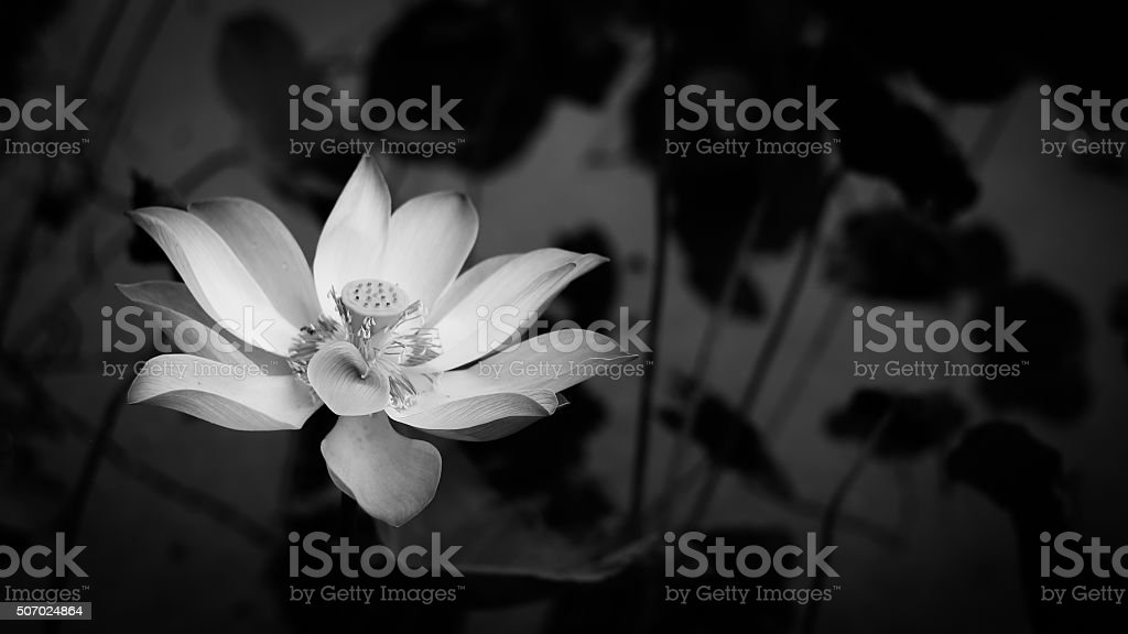 Lotus in white stock photo black and white lotus petal flower