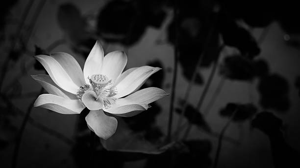 Lotus in white stock photo