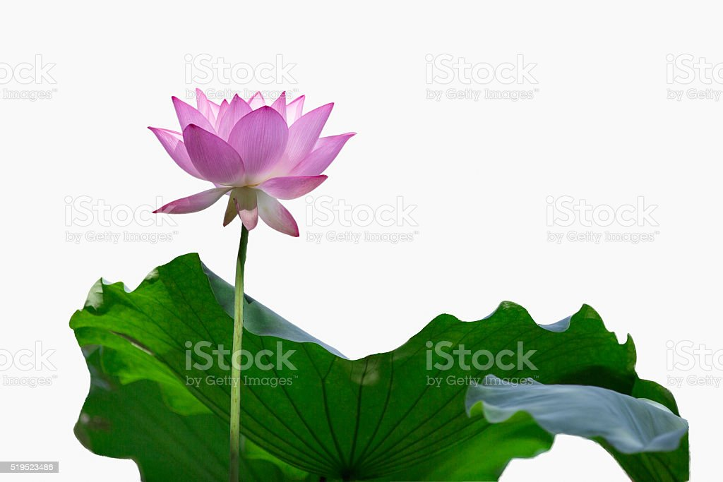 lotus isolated on white stock photo
