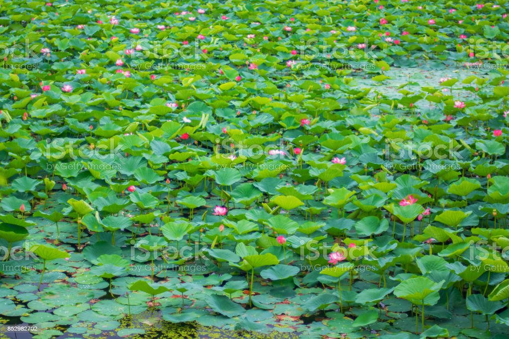 Lotus Lake, largest lake completely decorated with lotuses. stock photo