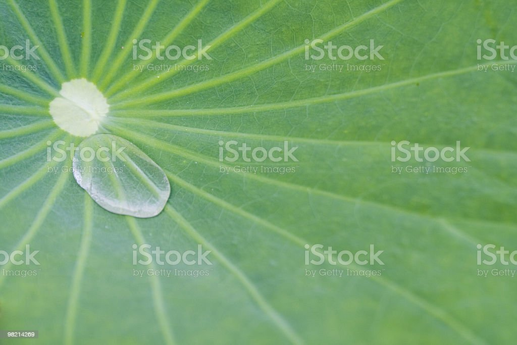 lotus leaf and water drop royalty-free stock photo