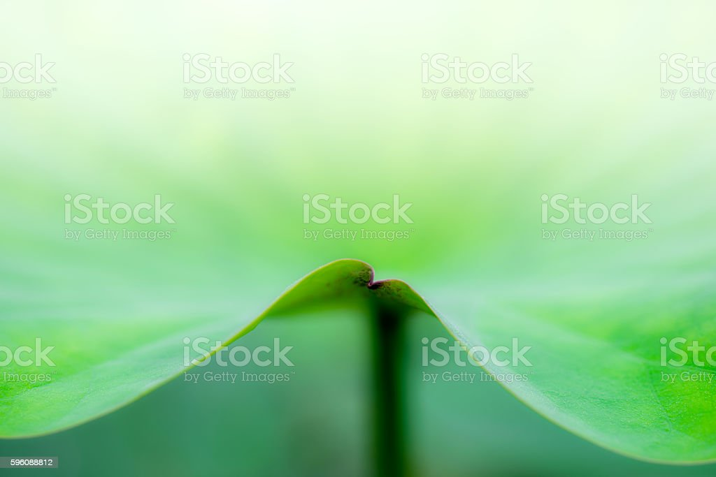 lotus leaf curves and texture royalty-free stock photo