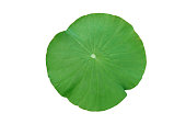 Lotus leaf isolated on white background with clipping path.