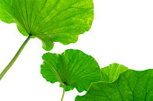 istock Lotus leaf on white background 1217566410