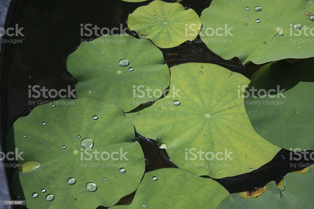 Lotus leaf royalty-free stock photo