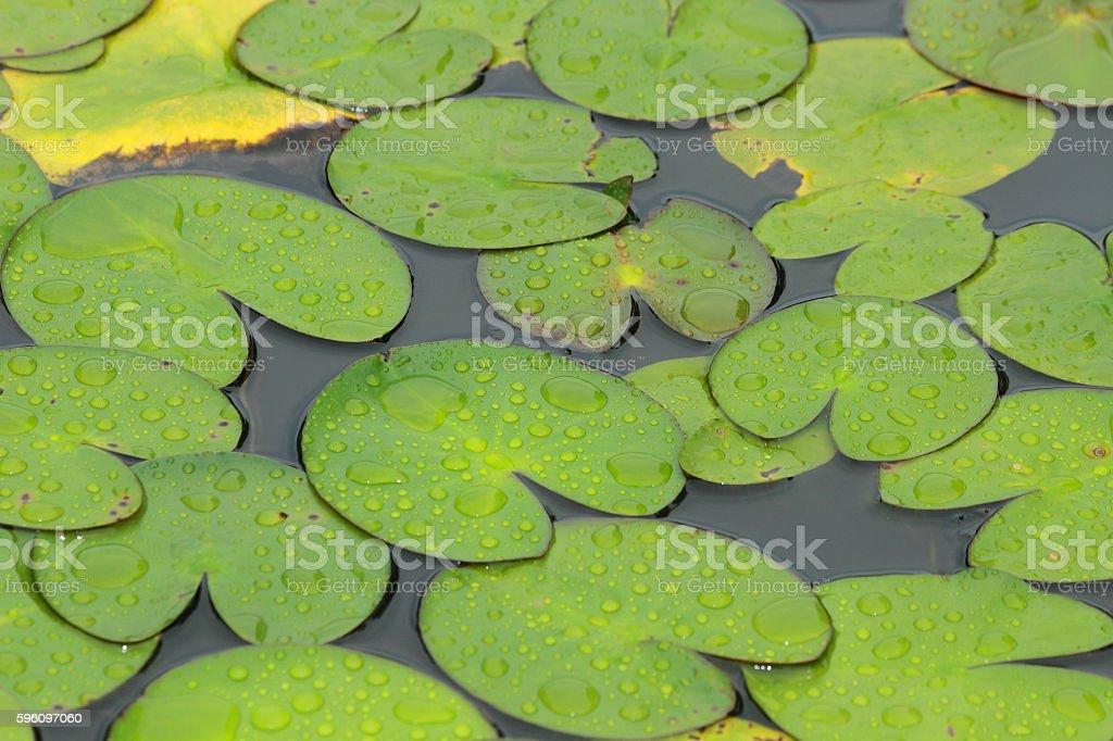 Lotus-Blatt  Lizenzfreies stock-foto