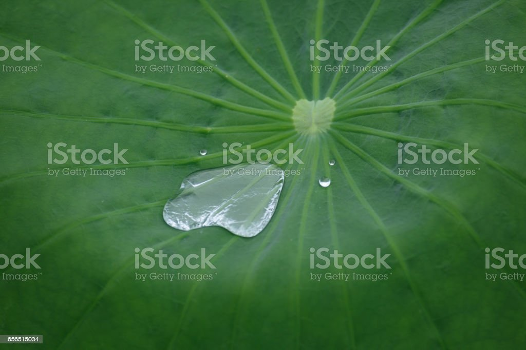 Lotus leaf with water beads stock photo