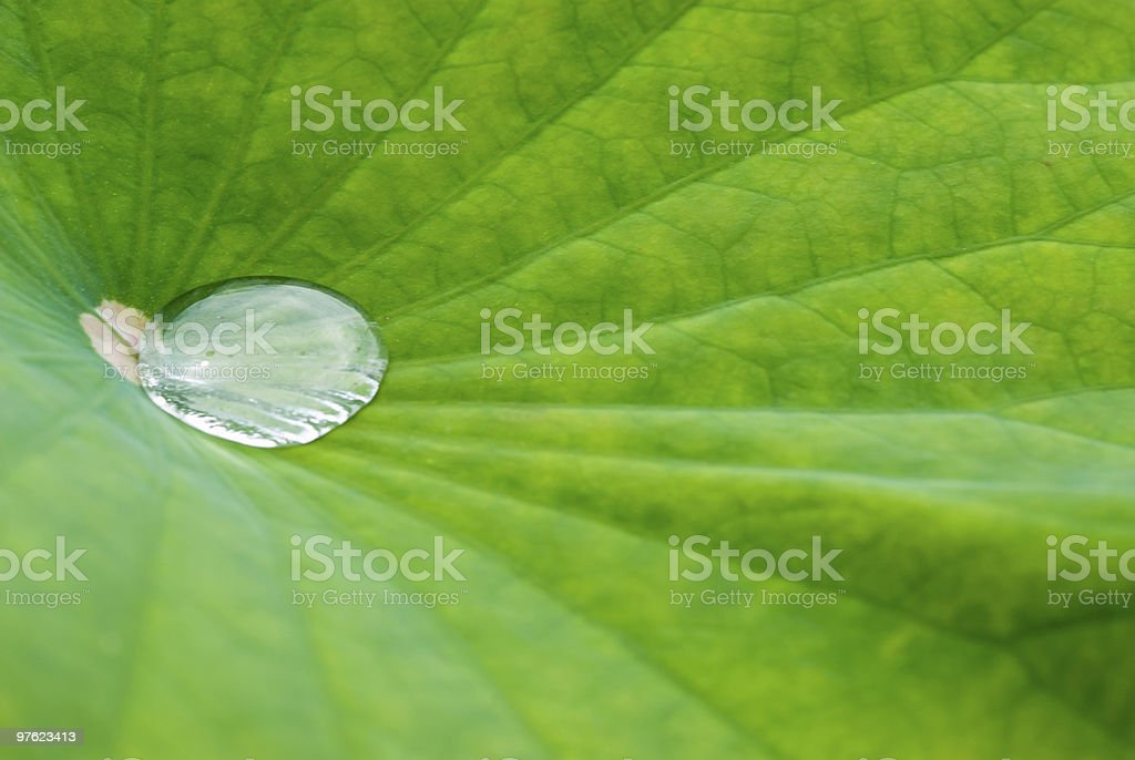 Lotus leaf with water drop 10 royalty-free stock photo