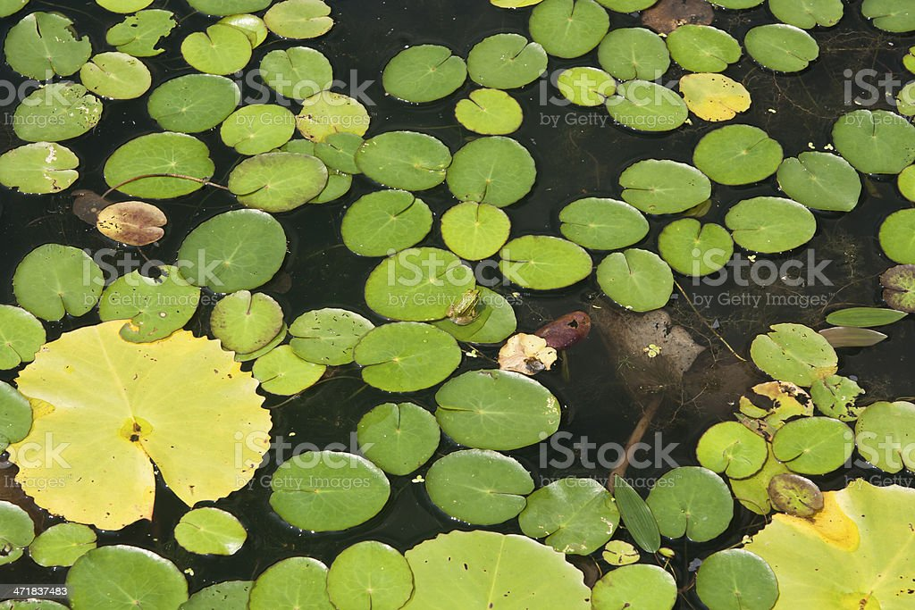 lotus leaves on the surface royalty-free stock photo