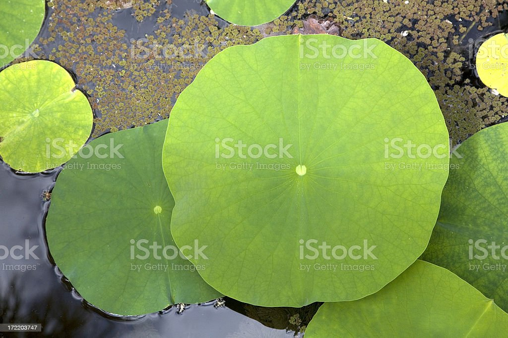 lotus leaves royalty-free stock photo