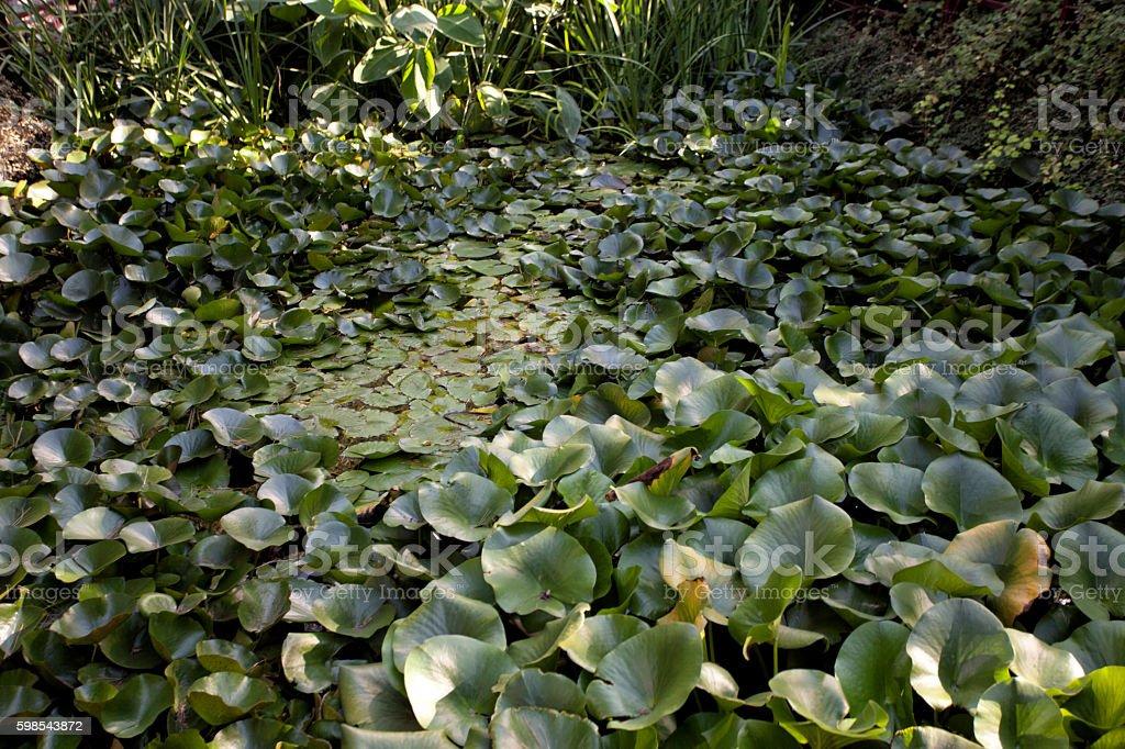 Feuilles de lotus photo libre de droits