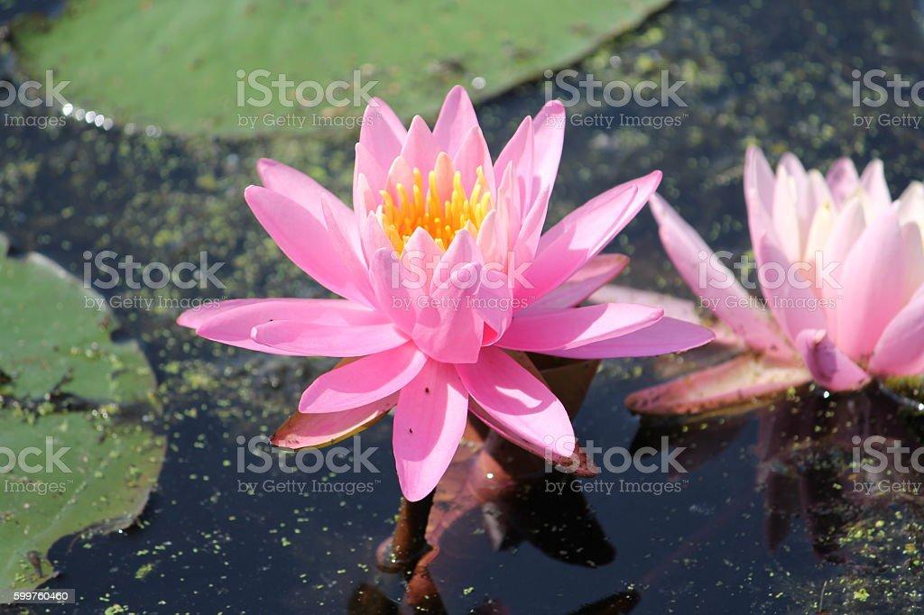 Lotus Lily Pad Flower stock photo