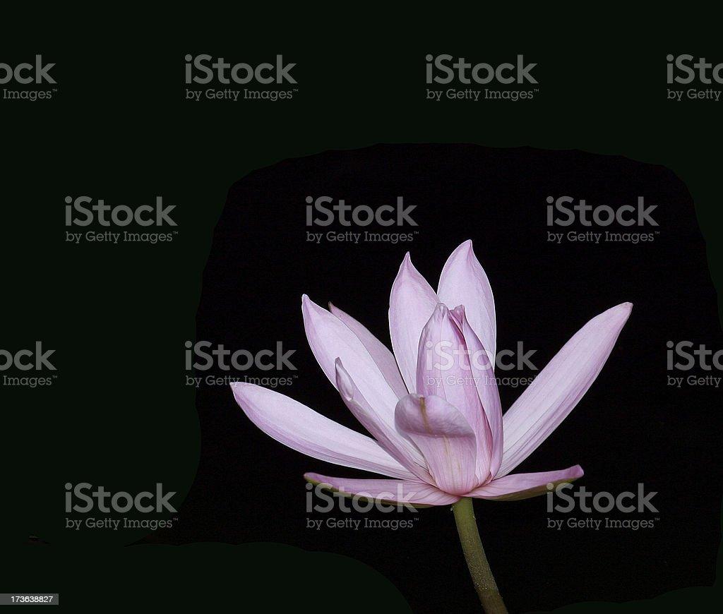 Lotus on black royalty-free stock photo