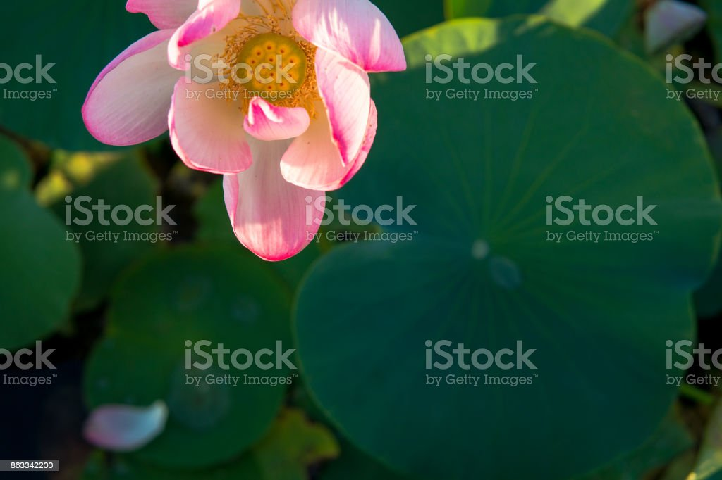 Lotus on the pond in Almaty. The bud of a lotus flower stock photo