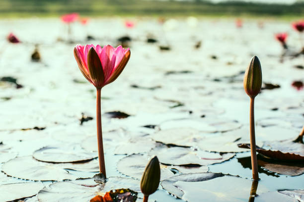 Lotus on the surface of the water stock photo