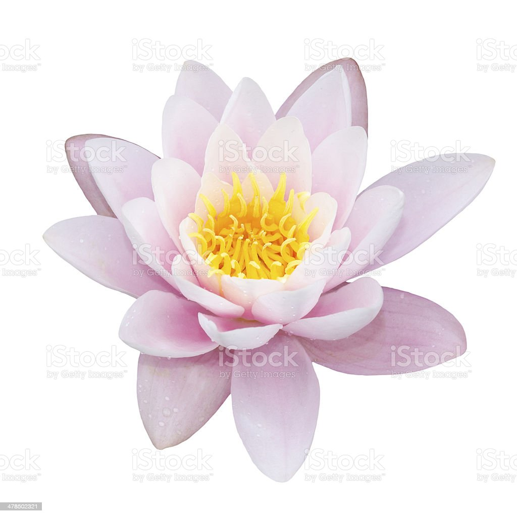 lotus on white stock photo