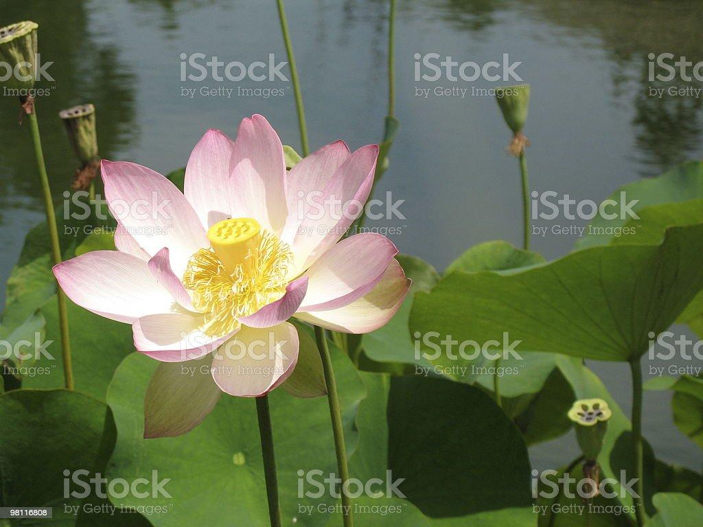Lotus Opening royalty-free stock photo