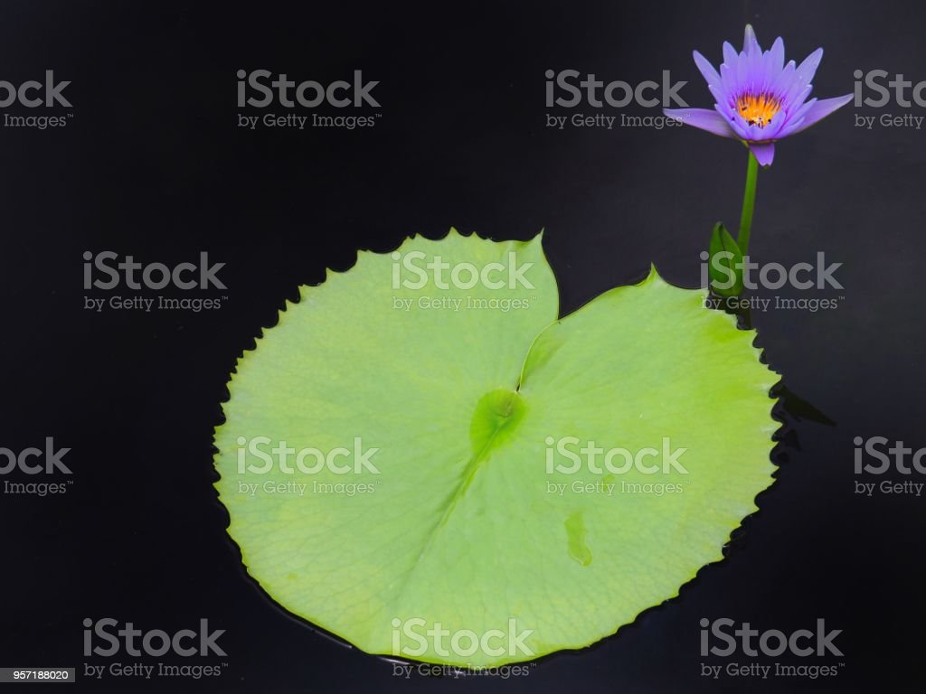 Lotus Or Water Lilly Colorful In The Pool It Is The Flower Of July