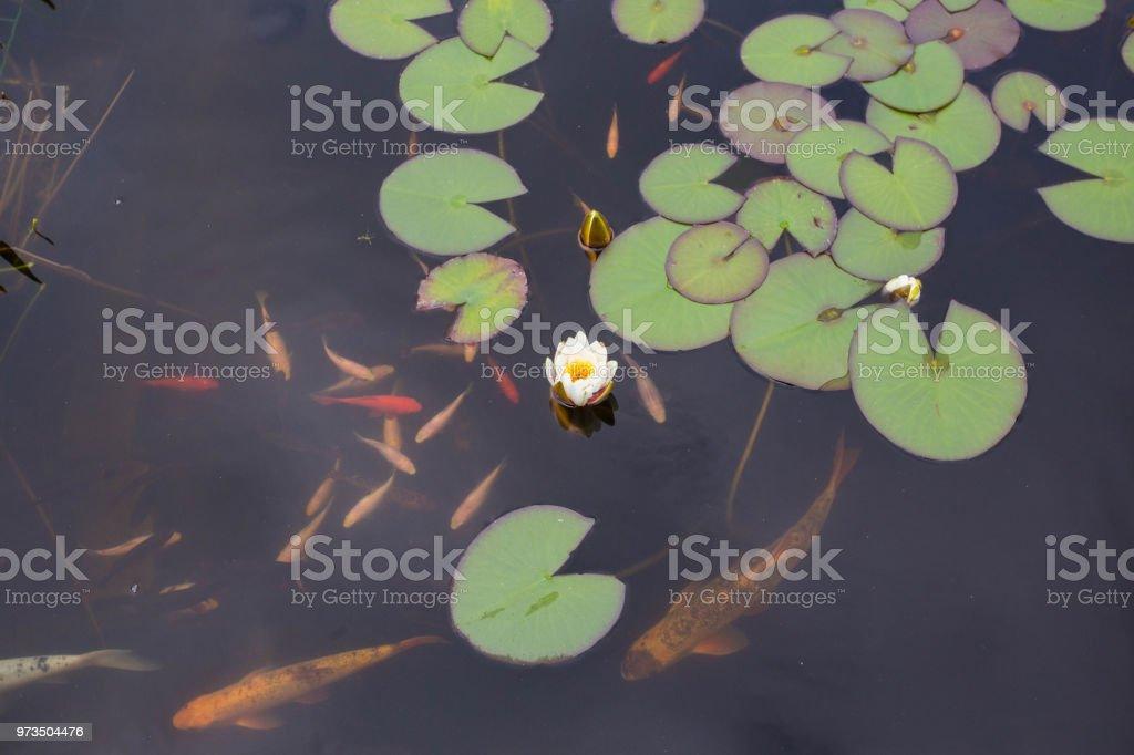 Lotus oder Seerose Blume und Gold Fisch – Foto