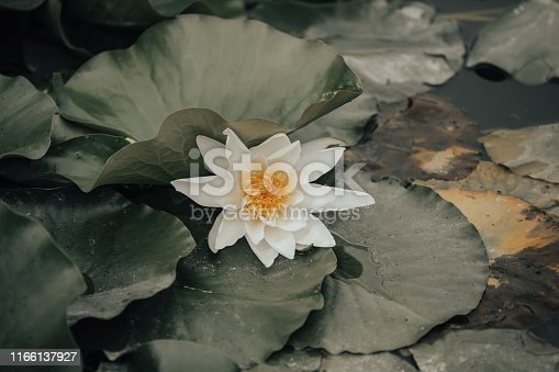 lotus or water lily flower at the small pond, wilderness nature czech republic