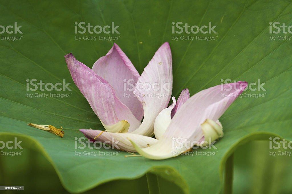 lotus petal royalty-free stock photo