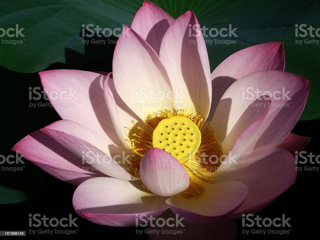Lotus petals under the sunlight royalty-free stock photo