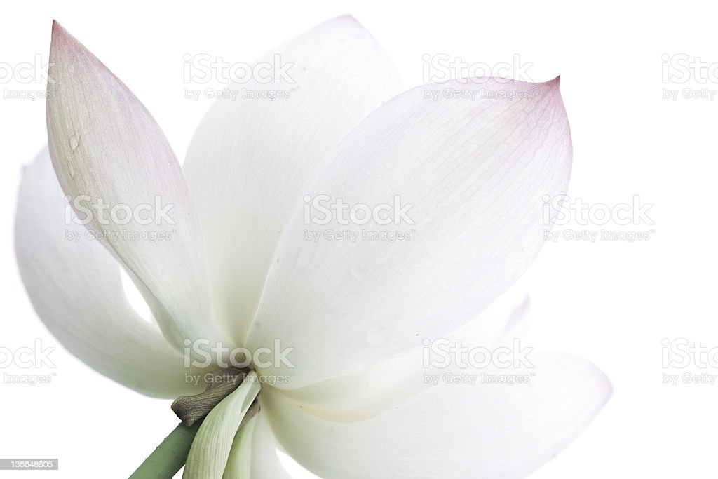 lotus royalty-free stock photo