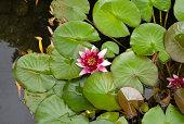 istock Lotus 172282814