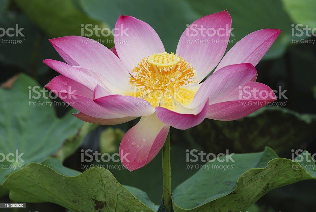 Lotus. royalty-free stock photo