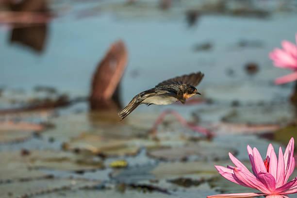 """lotus """"  - sinnvolle wörter stock-fotos und bilder"""