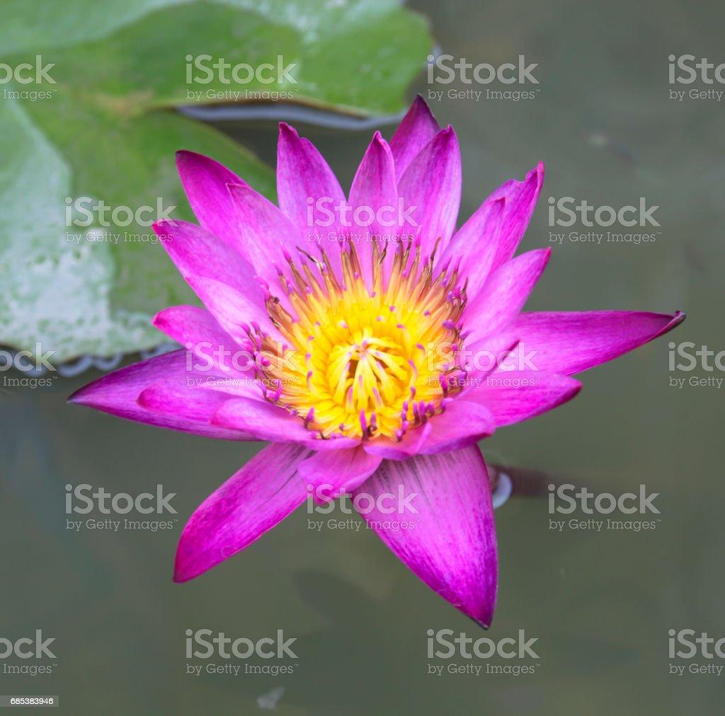 lotus foto de stock royalty-free