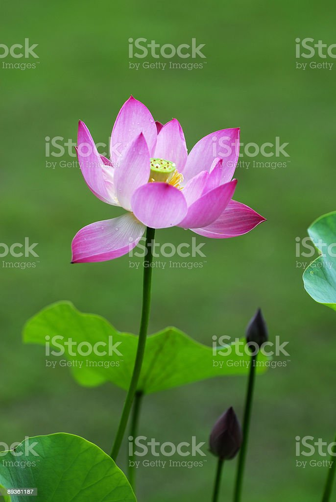 Lotus foto stock royalty-free
